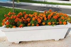 Aiola con i fiori arancio del tagete in giardino Immagini Stock Libere da Diritti