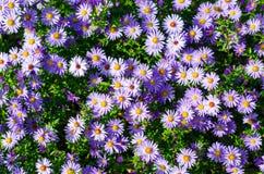 Aiola con i fiori viola Fotografia Stock
