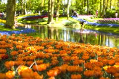Aiola con i tulipani arancio e un lago Parco con i fiori Keukenhof in primavera l'olanda Regalo della cartolina fotografie stock libere da diritti