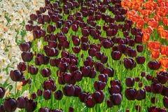 Aiola dei tulipani Immagini Stock