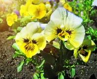 Aiola della viola tricolore o bacio-me-rapida (fiori di cuore-facilità fotografie stock libere da diritti