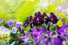 Aiola della viola tricolore o bacio-me-rapida (fiori di cuore-facilità fotografia stock