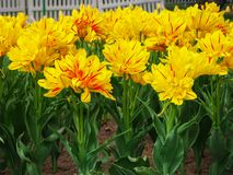 Aiola fiori spogliati gialli di Monsella del tulipano di grandi e rossi fotografie stock libere da diritti
