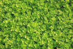 Aipo no crescimento no jardim vegetal Fotografia de Stock Royalty Free