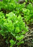 Aipo orgânico no quintal Fotografia de Stock