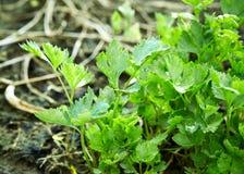 Aipo orgânico no quintal Imagem de Stock Royalty Free