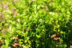Aipo plantado no campo da agricultura em Tailândia Fotografia de Stock Royalty Free