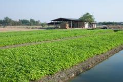 Aipo que cultiva em Tailândia Fotografia de Stock Royalty Free