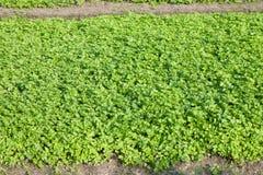 Aipo que cultiva em Tailândia Foto de Stock