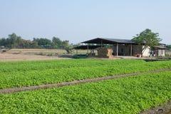 Aipo que cultiva em Tailândia Foto de Stock Royalty Free