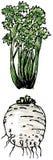 Aipo - raiz e folhas Imagens de Stock Royalty Free