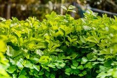 Aipo verde no crescimento no jardim vegetal Fotos de Stock