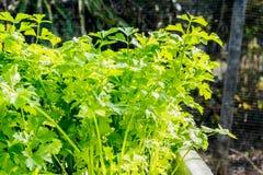Aipo verde no crescimento no jardim vegetal Imagens de Stock