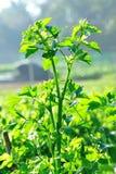 Aipo verde no jardim vegetal Imagens de Stock Royalty Free