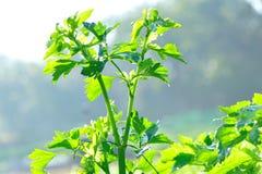 Aipo verde no jardim vegetal Foto de Stock Royalty Free