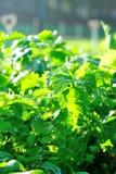 Aipo verde no jardim vegetal Foto de Stock