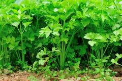 Aipo verde no jardim vegetal Imagens de Stock