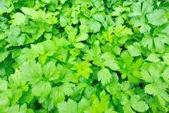 Aipo verde no jardim vegetal Fotos de Stock