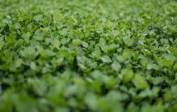 Aipo verde pequeno Fotografia de Stock Royalty Free
