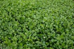 Aipo verde pequeno Foto de Stock Royalty Free