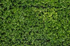 Aipo verde pequeno Fotos de Stock