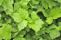 Aipo verde que cresce na correcção de programa vegetal Imagens de Stock Royalty Free