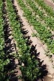 Aipo vermelho que cresce no campo Imagem de Stock