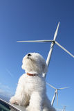 Air. Aerial composition. Little white dog sniffing the air, wind turbines in the background Stock Photos
