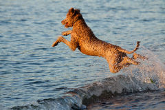 Air bud. This dog goes flying into the water after a ball that its owner had just thrown with some beautiful golden light Stock Photo