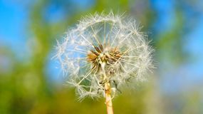 Air cap dandelion flower on the background of spring greenery. royalty free stock photography