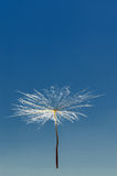 Air dandelion Royalty Free Stock Image