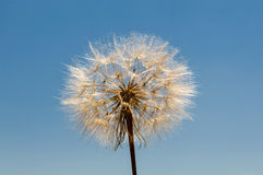 Air dandelion Royalty Free Stock Photography