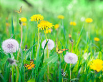 Air dandelions on a green field Stock Images