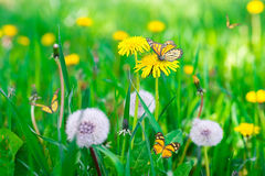 Air dandelions on a green field Royalty Free Stock Image