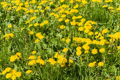 Air dandelions on a green field. Stock Image