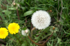 Air dandelions on a green field Stock Image