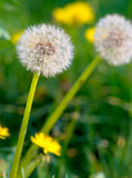 Air dandelions on a green field Royalty Free Stock Photos