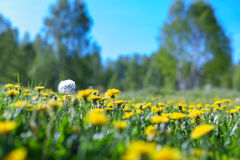 Air dandelions on a green field. Spring background. Stock Image