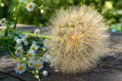 Air dry flower in the form of umbrellas (similar to dandelion) and field daisies on a wooden table.  Stock Photography