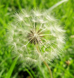 Air flower Dandelion. Stock Images
