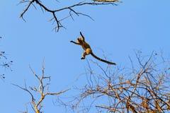 Air Lemur Royalty Free Stock Image