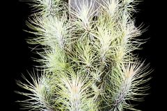 Air plant, Tillandsia funckiana, on black background royalty free stock images