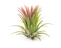 Air plant Tillandsia isolated white background Royalty Free Stock Images