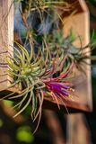 Air plant Tillandsia spp stock photos