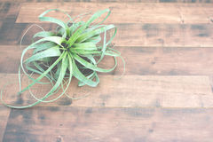Air plant Tillandsia Stock Photo