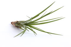 Air Plant Stock Photography