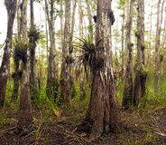 Air Plants in Florida Everglades Stock Image