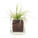 Air plants in a glass vase Royalty Free Stock Photo