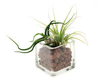 Air plants in a glass vase Royalty Free Stock Images