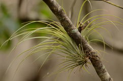 Air plants Stock Images